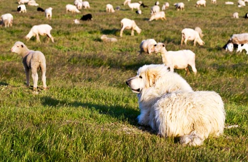 How to Protect Livestock: Guardian Animals