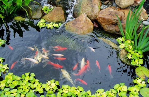 Steps to Fix Cloudy or Murky Pond Water: Removal Of Sludge And Debris